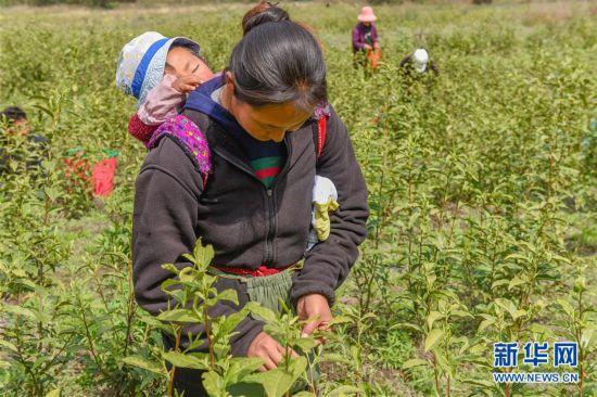 (脱贫攻坚)(4)西藏察隅首批春茶开采