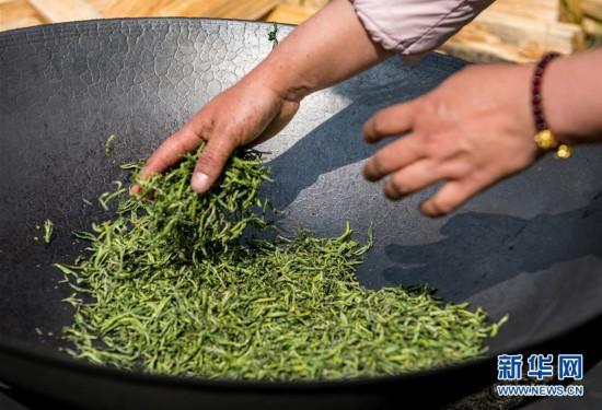 (脱贫攻坚)(6)西藏察隅首批春茶开采