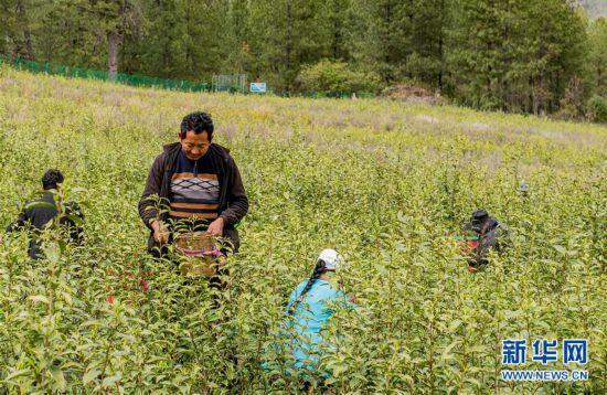 (脱贫攻坚)(2)西藏察隅首批春茶开采