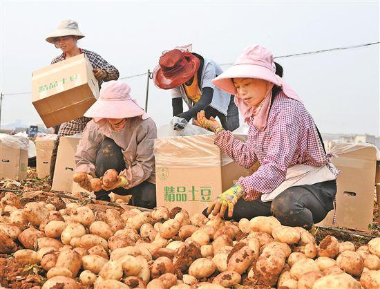 「」砚山:冬早马铃薯喜获丰收