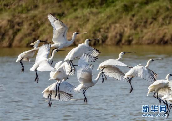 """(美丽中国)(2)黑脸琵鹭""""长驻""""闽江口湿地"""