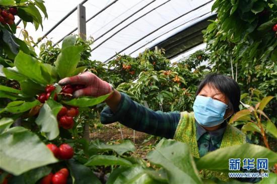 (社会)(1)红樱桃助力脱贫增收