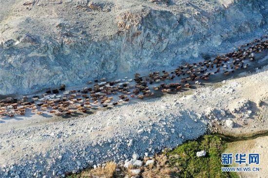 新疆福海县牧民迎来转场季