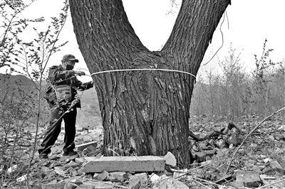 国槐已达古树标准惨遭绳缠钉筑垃圾围