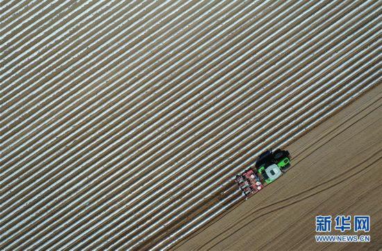 (经济)(1)河北滦南:烟薯产业助增收