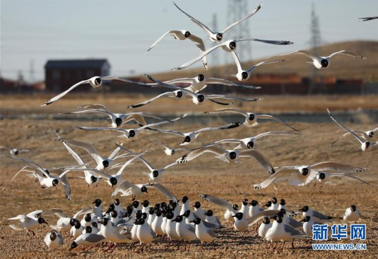 (社会)(1)河北康保:康巴诺尔湿地遗鸥舞翩跹