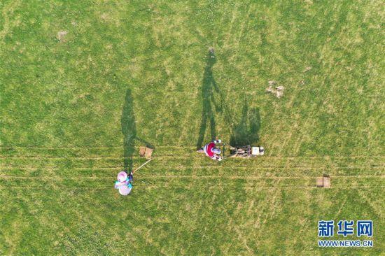 #(經濟)(2)江蘇泗洪:發展草坪種植 幫助農民家門口就業