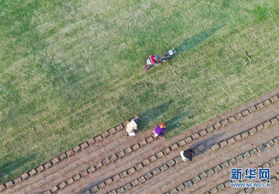 #(經濟)(1)江蘇泗洪:發展草坪種植 幫助農民家門口就業
