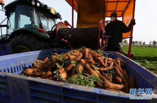 意大利马卡雷塞:胡萝卜丰收