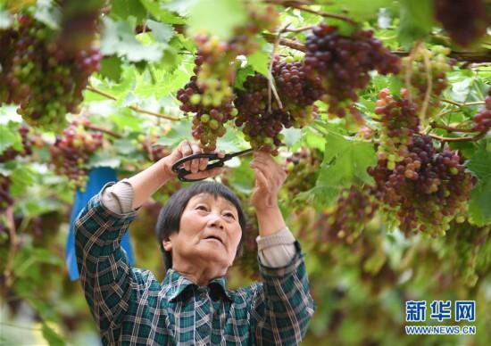 (社会)(1)河北迁安:发展特色农业促增收