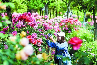 南京溧水:玫瑰花成海 闻香客自来