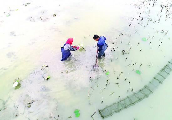 淮安金湖塔集镇荷藕种植带动农民增收致富