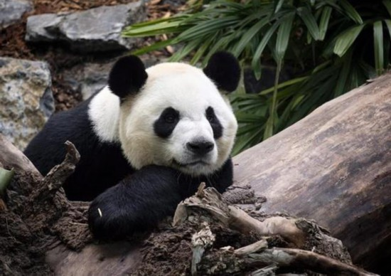 旅加熊猫吃不到鲜竹归国大熊猫的口粮是这样运送的
