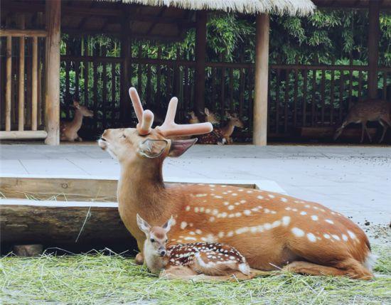 成都金沙遗址博物馆迎来2020年第一只新生萌鹿