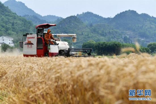 (经济)(1)贵州思南:收获冬小麦