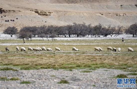 (2020珠峰高程测量)(8)珠峰自然保护区生物多样性得到有效保护