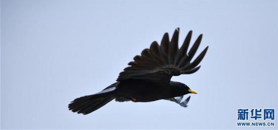 (2020珠峰高程测量)(6)珠峰自然保护区生物多样性得到有效保护