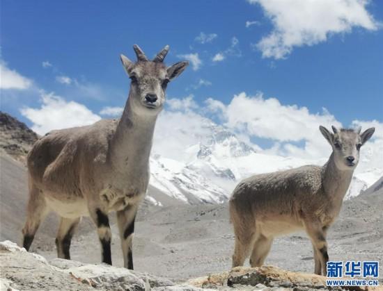 (2020珠峰高程测量)(2)珠峰自然保护区生物多样性得到有效保护