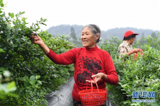 (社会)(1)蓝莓产业助农增收