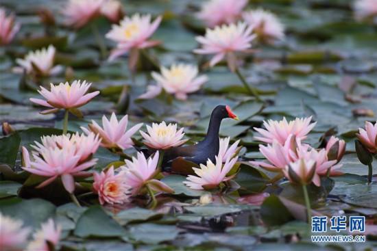 (环境)(1)鸟戏莲叶间