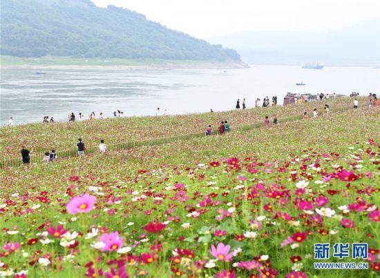 (春季美丽生态)(1)重庆:格桑花开长江畔