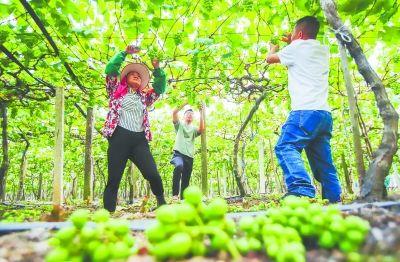 图为19日,赛岐镇象环村果农在葡萄园里进行疏果管理。记者 单志强 通讯员 吴庆堂 摄