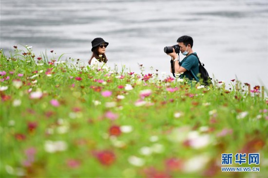 (春季美丽生态)(3)重庆:格桑花开长江畔