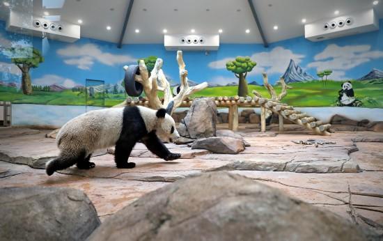 """5月21日,大熊猫""""青城""""在鞍山市二一九动物园大熊猫馆适应新环境。"""