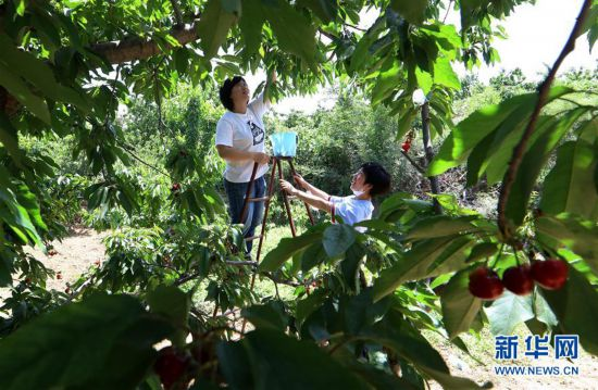 (经济)(1)河北赞皇:樱桃丰产 农户增收