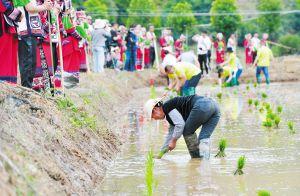 昆明宜良:彩稻作畫迎客來
