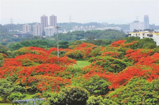 深圳东湖公园一片红