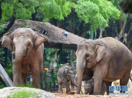 (社会)(5)广州:亚洲象家族再添新丁