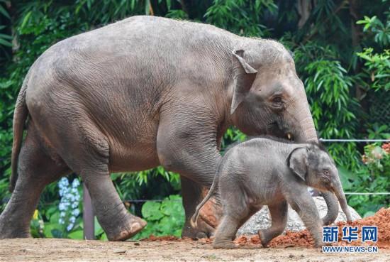 (社会)(2)广州:亚洲象家族再添新丁