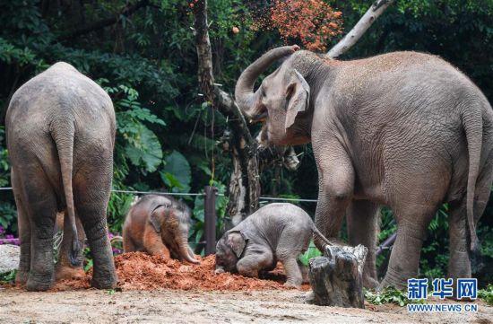 (社会)(8)广州:亚洲象家族再添新丁