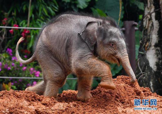 (社会)(3)广州:亚洲象家族再添新丁
