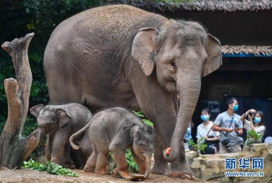 (社会)(4)广州:亚洲象家族再添新丁