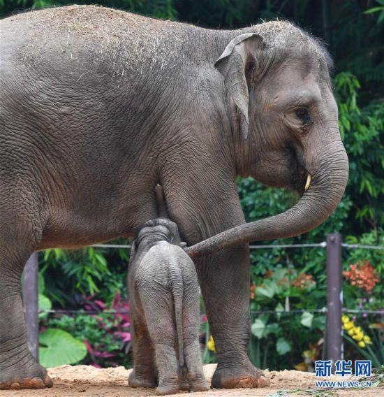 (社会)(1)广州:亚洲象家族再添新丁