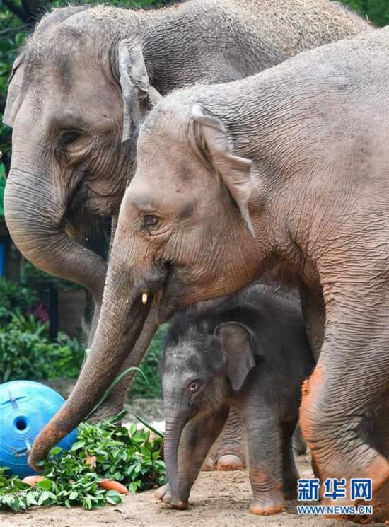 (社会)(6)广州:亚洲象家族再添新丁