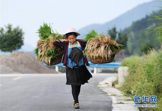 (社会)(5)贵州从江:梯田劳作忙