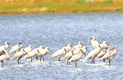 泰州兴化首次发现濒危物种白琵鹭种群