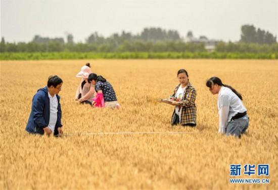 (经济)(1)河北临漳:小麦测产迎丰收