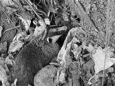 南京一只猪獾被困工地 警方紧急救助