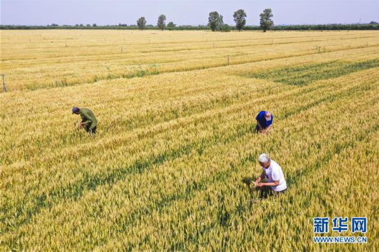 (經濟)(1)河北大城推廣節水小麥