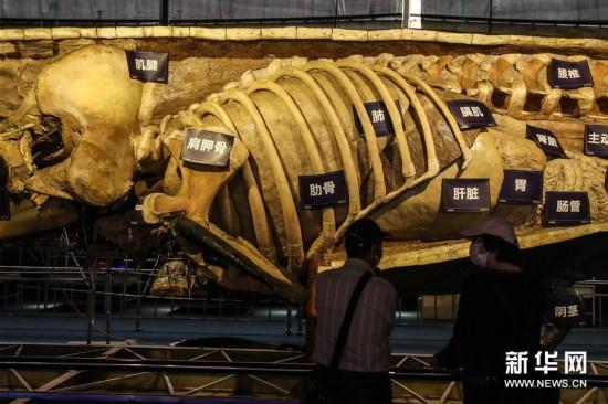 (社会)(2)抹香鲸塑化标本大连展出