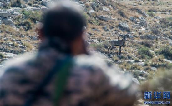 """(图片故事)(4)""""岩羊爸爸"""":在悬崖峭壁间守护山中精灵"""