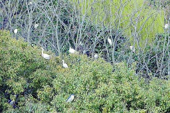 盐城盐都生态环境良好 吸引白鹭聚集