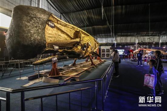 (社会)(1)抹香鲸塑化标本大连展出