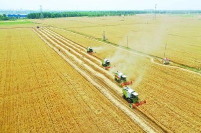 夏粮主要作物冬小麦进入收获期 丰收在望