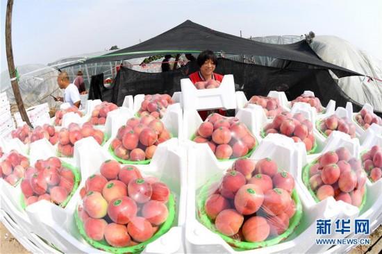 (經濟)(1)河北樂亭:鮮桃映紅豐收季