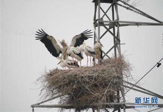 河北唐山:东方白鹳沿海筑巢育雏